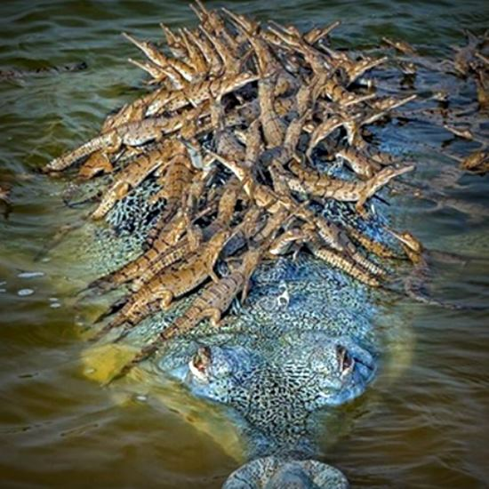 Crocodile dad with dozens of babies on his back