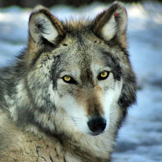 Wolf with gorgeous amber eyes staring into the camera
