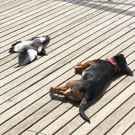 Little dog and magpie sunning on the deck