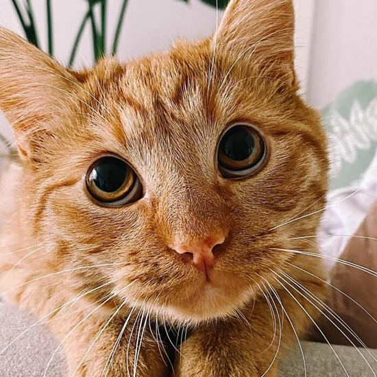 Orange tabby with remarkably soulful eyes