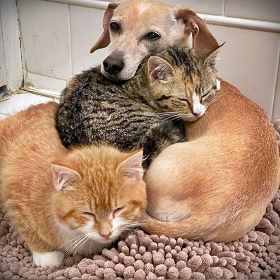 Cute little brown dog curled up with two kittens