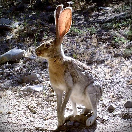 Beautiful antelope jackrabbit