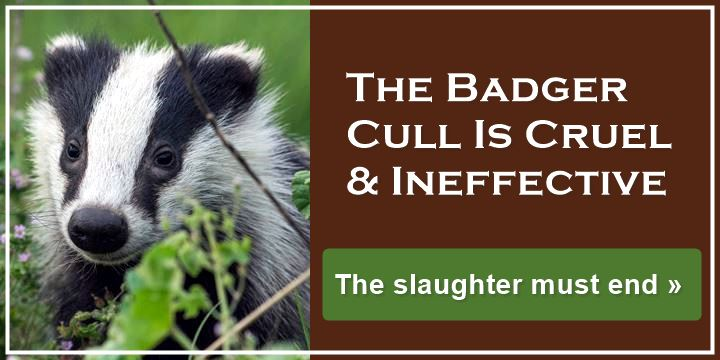 The Badger Cull Is Cruel & Ineffective - The slaughter must end