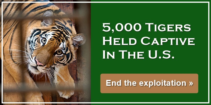 5000 Tigers Held Captive In The US - End the exploitation