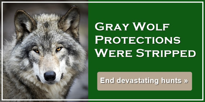 Gray Wolves Were Stripped Of Protections - End devastating hunts