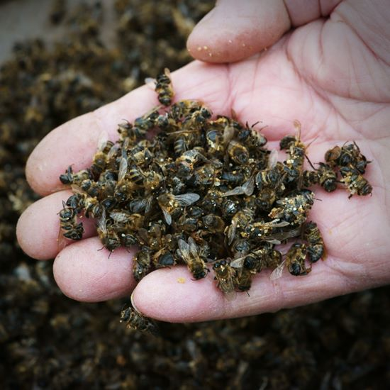 Handful of dead bees