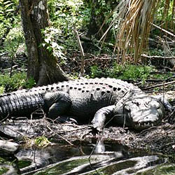 Tell Florida to stop allowing alligator wrestling to remain a viable tourist attraction.