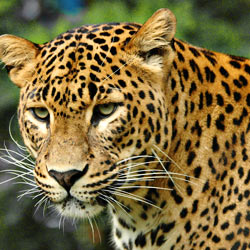 Sign the petition and join the fight to keep the Amur leopard alive.