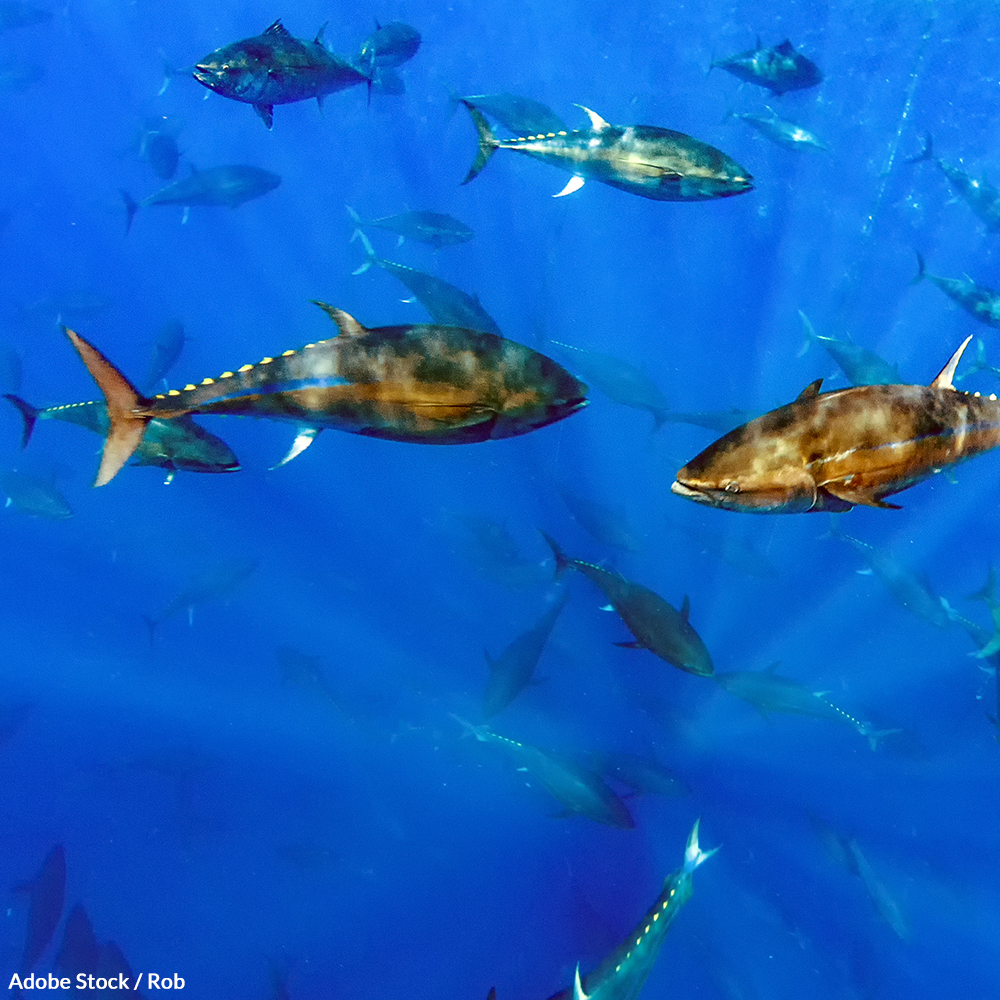 Save Atlantic Bluefin Tuna from Extinction