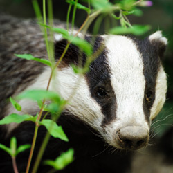 Help stop a mass badger cull in the United Kingdom!