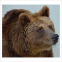Tell South Carolina to Stop Torturing Innocent Bears!