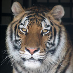 Support a bill that would prohibit the personal ownership of big cats like lions, tigers, and cheetahs.
