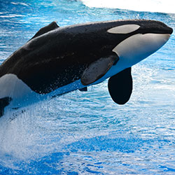 Orcas belong in oceans, not tiny tanks. Tell SeaWorld putting profit above animal welfare won't earn your support or patronage.