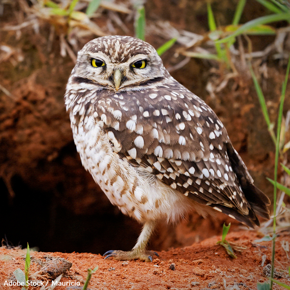 Save the Burrowing Owl from Extinction