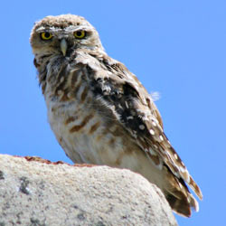 Canada's burrowing owl is facing extinction and we need to take action now!