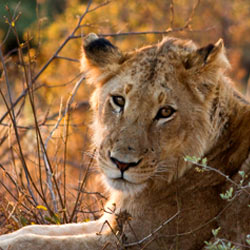 Lions are being trapped and bred for trophy hunting in South Africa. Stop the savagery!