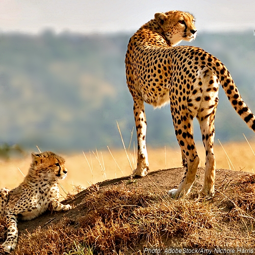 Tell The IUCN: Cheetahs Are Running Out of Time