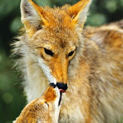 Stop Laguna Woods' misinformed coyote killing plan.