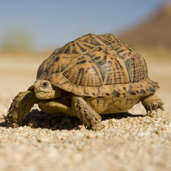 The construction of a giant solar plant in the Mojave Desert could wipe out the desert tortoise. Take action!