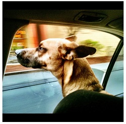 Keep Canines Cool: Don't Leave Dogs in Hot Cars!