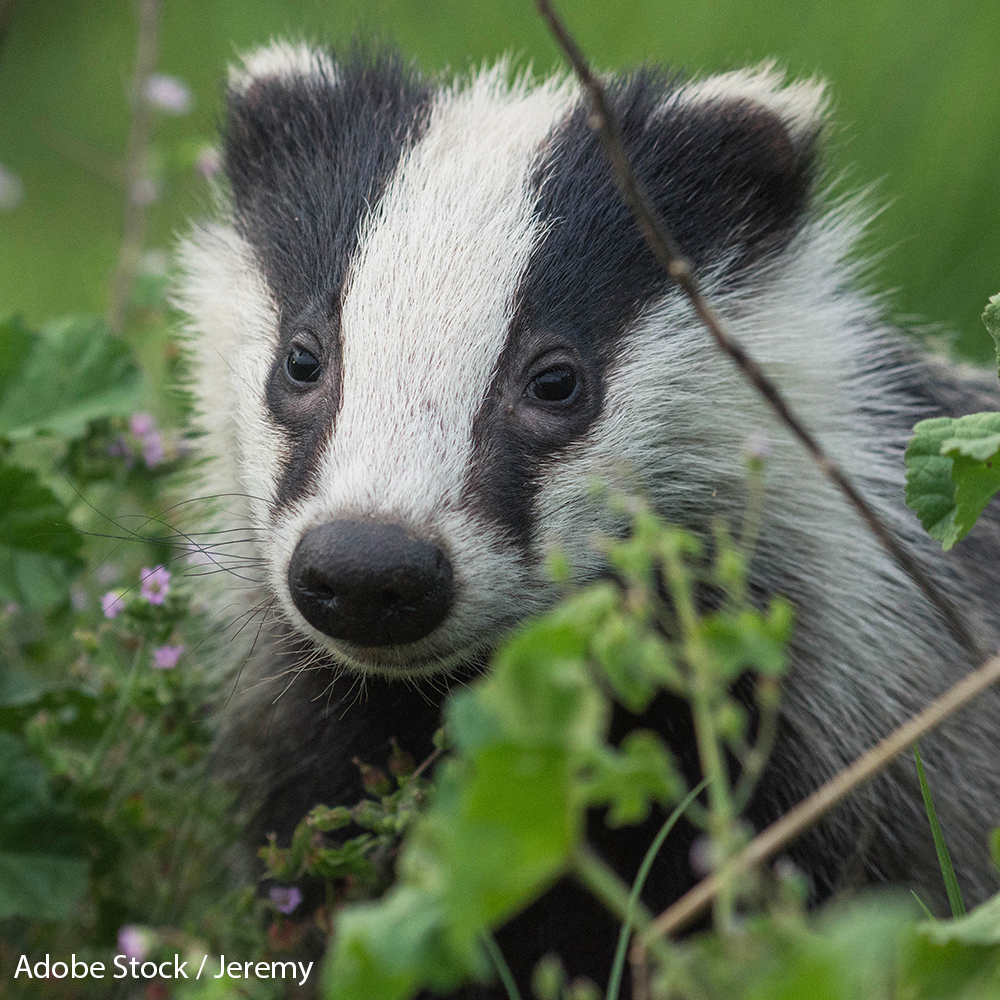 Save 60,000 Badgers from Slaughter