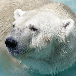 Global warming continues to threaten polar bears, their habitat, and their feeding grounds. Take action now!