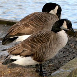 Thousands of geese are being captured and exterminated in New York City. Take action!