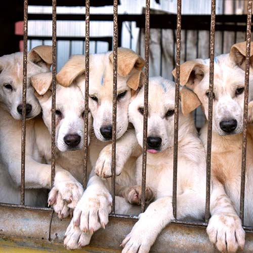 A vital step towards this goal is the legal recognition of all dogs as companion animals protected from cruelty.