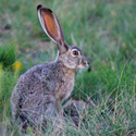 Stop Bloody Hare Coursing in Ireland!