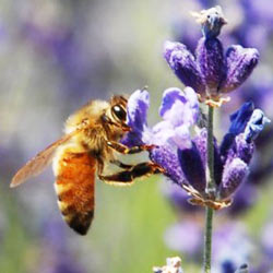 Honeybee populations are in danger because they are injesting a harmful pesticide called clothianidin. Take action for the bees!