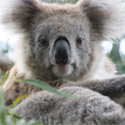 Save Koalas from Possible Extinction!