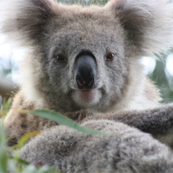 Koalas in Australia suffer from a severe chlamydia epidemic. Take action!