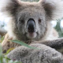 Koalas in Australia suffer from a severe chlamydia epidemic. Take action!