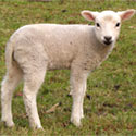 No More Lamb Torture in Australia!