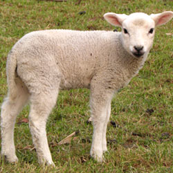 Farmers in Australia are torturing lambs by cutting off parts of their skin to rid them of pests. But there are alternatives.