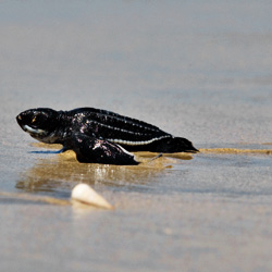 Commercial fishing, habitat erosion, and harvesting of leatherback eggs are the primary reasons the leatherback is endangered.