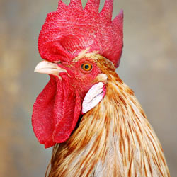 Tell McDonald's to support animal welfare and choose cage-free eggs.