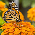 Help Save the Majestic Monarch Butterfly