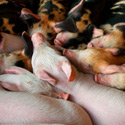 Stop the Mass Live Pig Burials in South Korea!