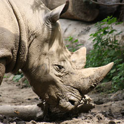 Tell the South African government to crack down on illegal rhino poaching.