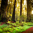 Save California's Majestic Redwood Forest!