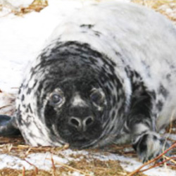 220,000 of Canada's Sable Island seals could be slaughtered this year.