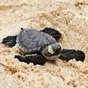 Protect the Sea Turtle's Beach Habitat!