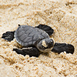 Do your part to aid in the recovery of five species of sea turtles at Cape Hatteras beach.