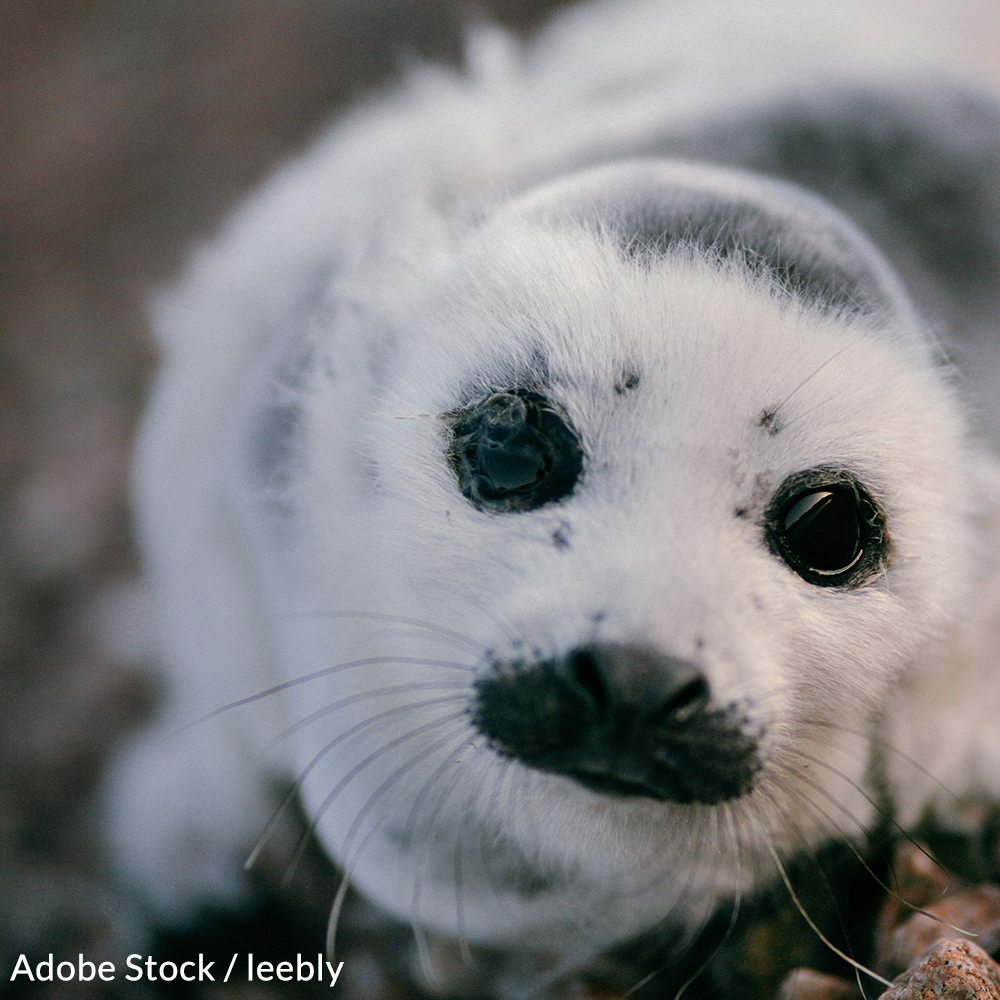 Tell the Canadian Prime Minister to put an end to this barbaric seal hunting tradition.