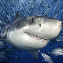 Many countries have banned it, but shark finning continues to threaten endangered shark species with extinction.