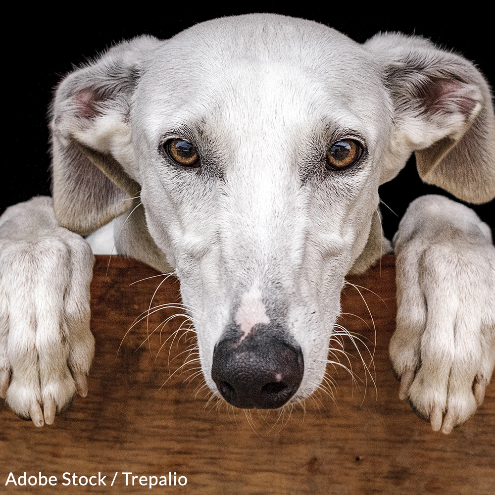 Take a Stand for Spanish Greyhounds!
