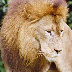Protect Lions From Cruel Trophy Hunting