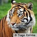 Save Sumatran Tigers from Extinction
