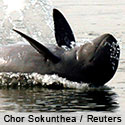 Save the Mekong Dolphin from Extinction
